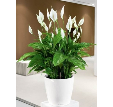 Planta Sphatifilium con base decorativa