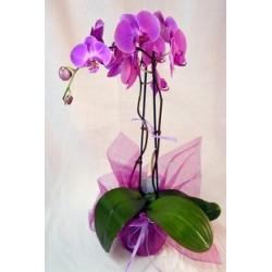 Planta Orquidea Phalaenopsis
