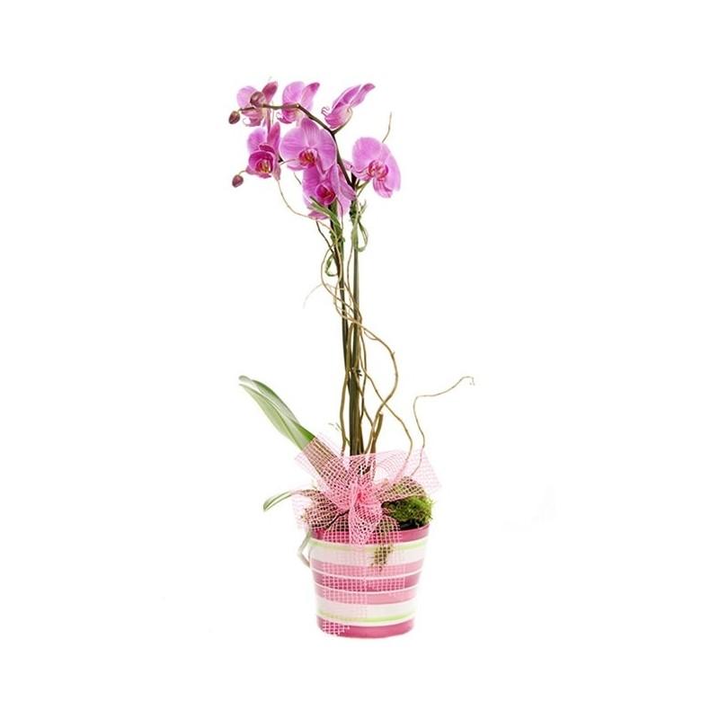 Planta Orquidea Phalaenopsis con base decorativa