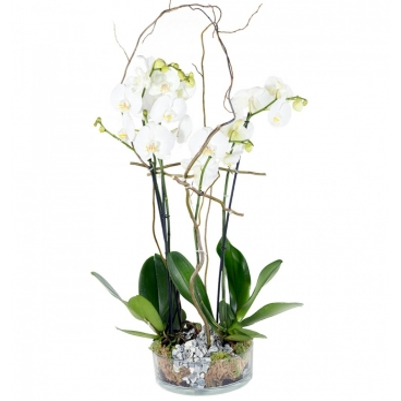 Plantas Orquidea Phalaenopsis con base de cristal