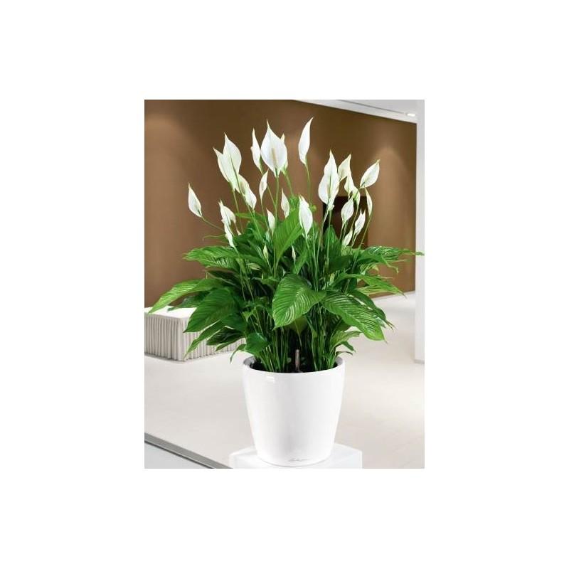 Planta Sphatifilium con base decorativa
