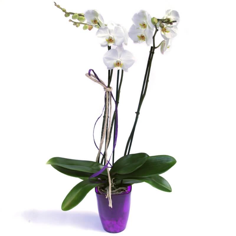 Orquídea de Tallo Largo
